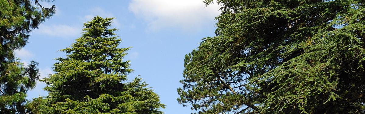 Westonbirt trees skyline
